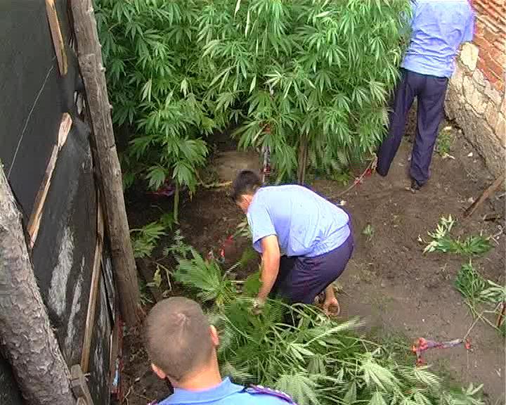 Гражданин Можги проведет 4 года втюрьме завыращивание 900 кустов конопли